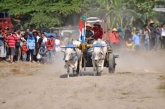 Cow race in Yogyakarta, Indonesia Stock Images