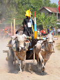 Cow race in Yogyakarta, Indonesia Stock Photography