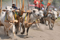 Cow race in Yogyakarta, Indonesia Royalty Free Stock Image