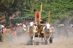 Cow race in Yogyakarta, Indonesia Stock Photos
