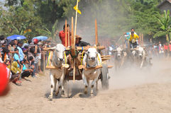 Cow race in Yogyakarta, Indonesia Royalty Free Stock Images