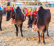 Cow racing annual fair, Thailand Royalty Free Stock Images