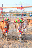 Cow racing annual fair, Thailand Royalty Free Stock Photo