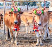 Cow racing annual fair, Thailand Royalty Free Stock Photos