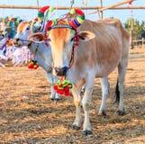 Cow racing annual fair, Thailand Stock Photo