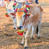 Cow racing annual fair, Thailand Stock Images
