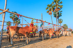 Cow racing annual fair, Thailand Royalty Free Stock Image