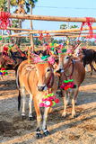 Cow racing annual fair, Thailand Royalty Free Stock Photography