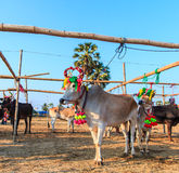 Cow racing annual fair, Thailand Stock Images