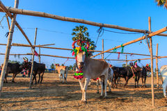Cow racing annual fair, Thailand Royalty Free Stock Photos
