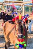 Cow racing annual fair, Thailand Stock Image