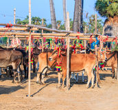 Cow racing annual fair, Thailand Stock Photography
