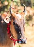 Cow racing annual fair, Thailand Royalty Free Stock Photo