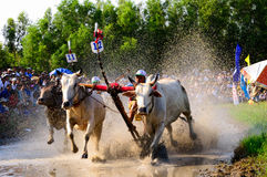 Cow racing festival in An Giang Royalty Free Stock Image