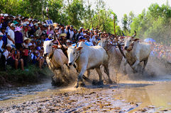 Cow racing festival in An Giang Stock Photo