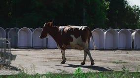 The cow ran to the calves. Cow runs on a farm. Cow and calves. Calves in aviaries stock video