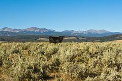 Cow on the Range Royalty Free Stock Photo