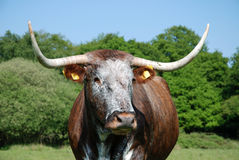 Cow, rare breed English longhorn. Free roaming rare English longhorn in Epping forest stock photos