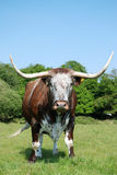 Cow, rare breed English longhorn. Free roaming rare English longhorn in Epping forest royalty free stock photography