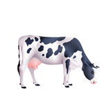 Cow Realistic Illustration Stock Images