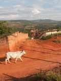 Cow On Red Dirt Track Royalty Free Stock Photo