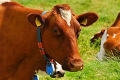 Cow, Red Orange, Pasture, Curious Stock Photos