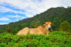 Cow relax on flower garden in day time with blue sky and mountain. Cow is relax on yellow flower garden in day time with blue sky and mountain background Royalty Free Stock Photo