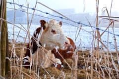 Cow in winter outdoors Royalty Free Stock Photos