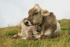Cow relaxing Royalty Free Stock Images