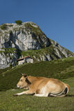 Cow relaxing Stock Photo