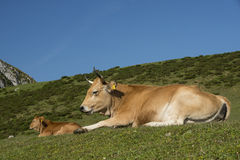 Cow relaxing Royalty Free Stock Photography