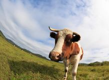 Cow rest at grassland Royalty Free Stock Image
