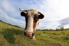 Cow rest at grassland Stock Photos
