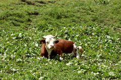 Cow rest on a meadow on Italian Alp royalty free stock images