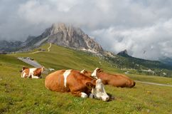 Cow resting Stock Image