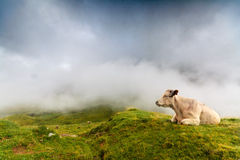 A cow resting. A cow is resting in spanish Pyrenees, with the fog coming at the background Stock Images