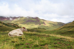 A cow resting. A cow is resting in spanish Pyrenees, with the fog coming at the background Royalty Free Stock Photos