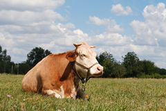 Cow resting Stock Photos