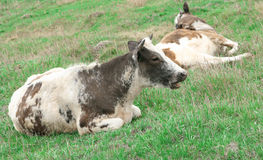 Cow resting. On green grass Royalty Free Stock Images