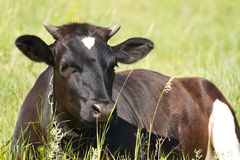 Cow resting Royalty Free Stock Photography