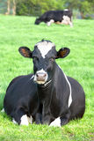 Cow Resting Royalty Free Stock Image