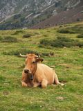Cow resting on a alp Stock Photography