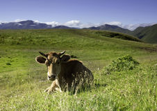 Cow is resting Stock Image
