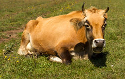 Cow is resting. On a background of mountain landscape Stock Photos