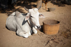 Cow is resting. Burma Royalty Free Stock Images