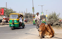 Cow resting on a busy street in Kolkata Stock Photos