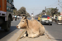 Cow resting on a busy street in Kolkata Royalty Free Stock Image
