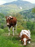 2 cow resting in the fields in Switzerland stock images
