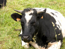 Cow resting in grass, agriculture. stock photography