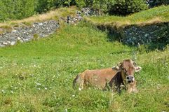 Cow resting in green field. Scenic view of cow resting in green countryside field with dry stone walls in background Royalty Free Stock Photography